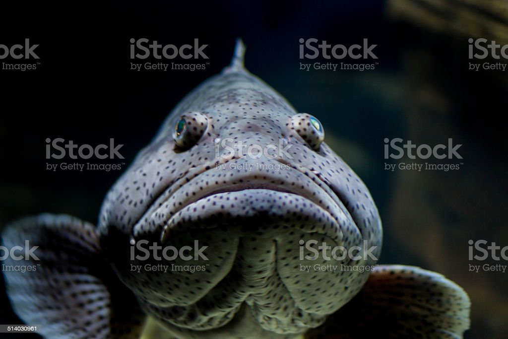 Malabar grouper fish, mouth closed stock photo