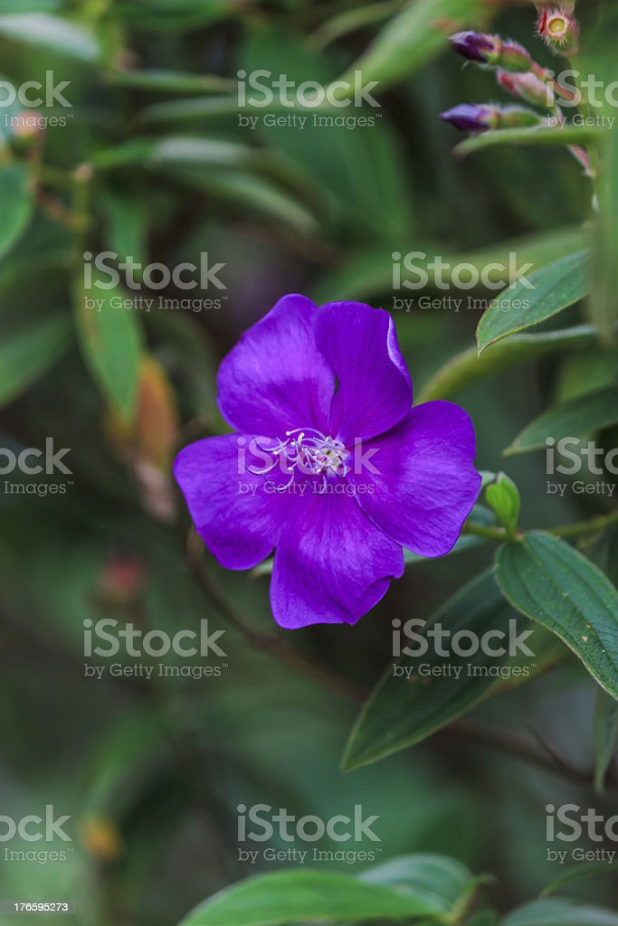 Malabar Melastome royalty-free stock photo