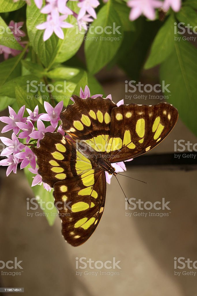 Malachite Butterfly on Pink Flowers royalty-free stock photo