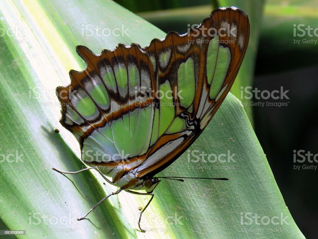 Malachite Butterfly stock photo