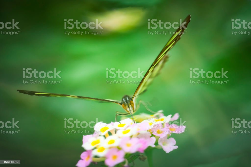 Malachite butterfly , Siproeta stelenes royalty-free stock photo