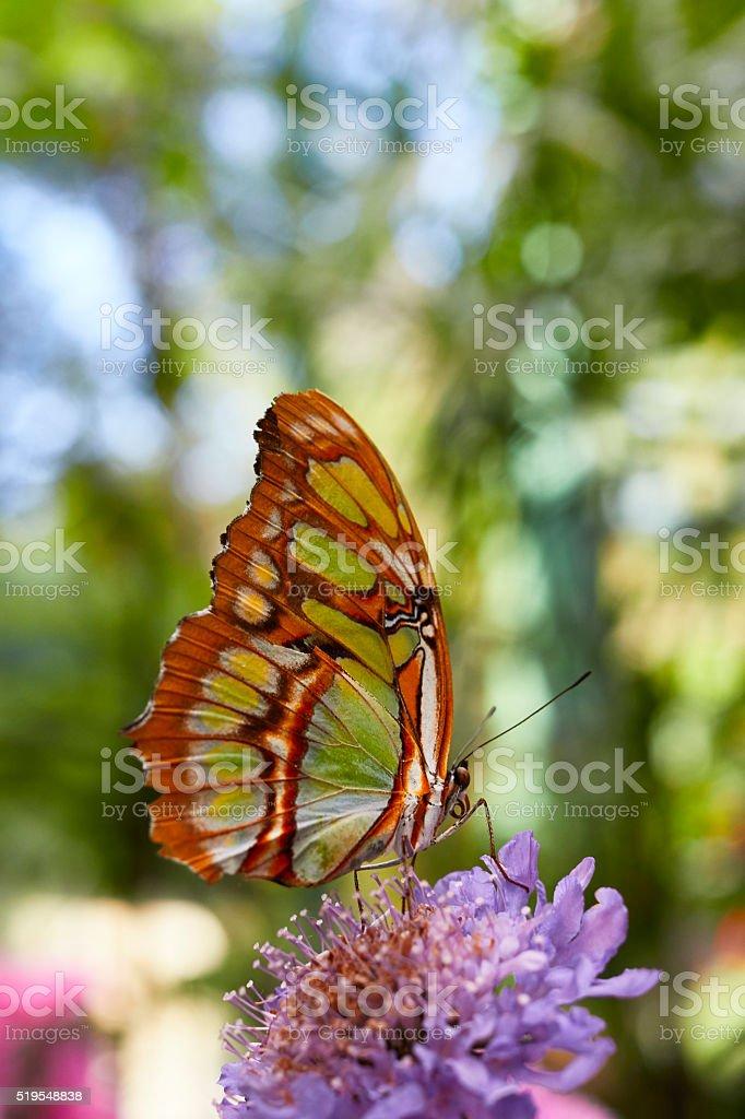 Malachite Butterfly, Siproeta Stelenes stock photo
