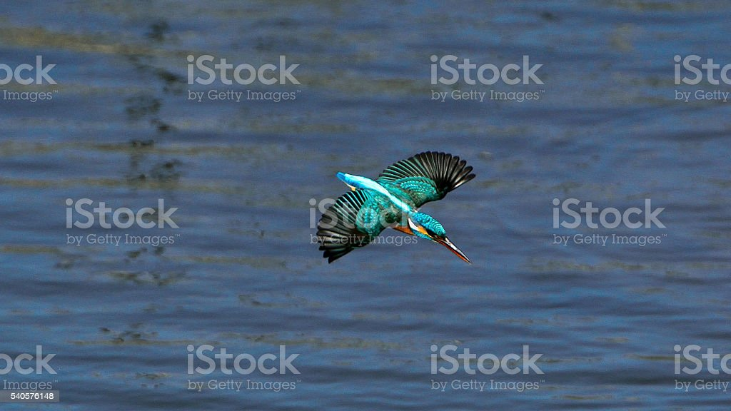 Malachite Kingfisher attacking and diving into water stock photo
