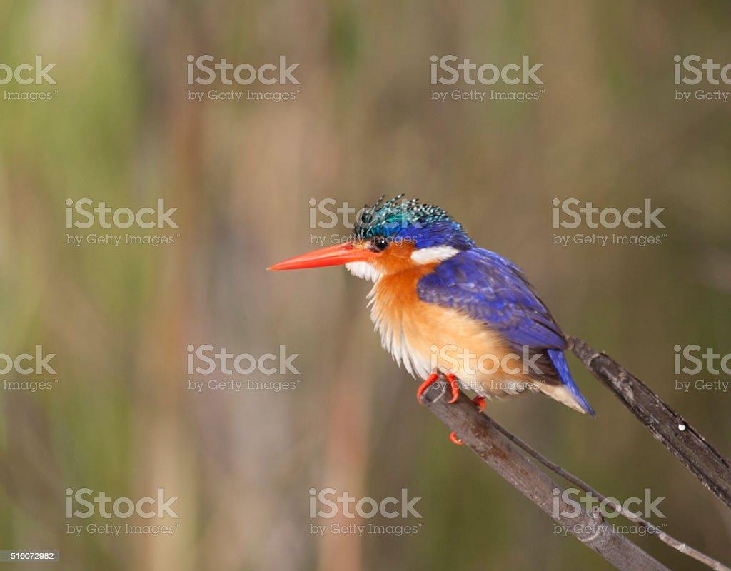 Malachite Kingfisher, Corythornis cristatus/Alcedo cristata. Chobe NP, Botswana, Africa stock photo