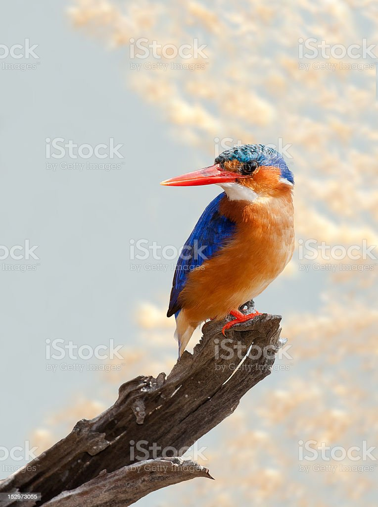 Malachite Kingfisher zbiór zdjęć royalty-free