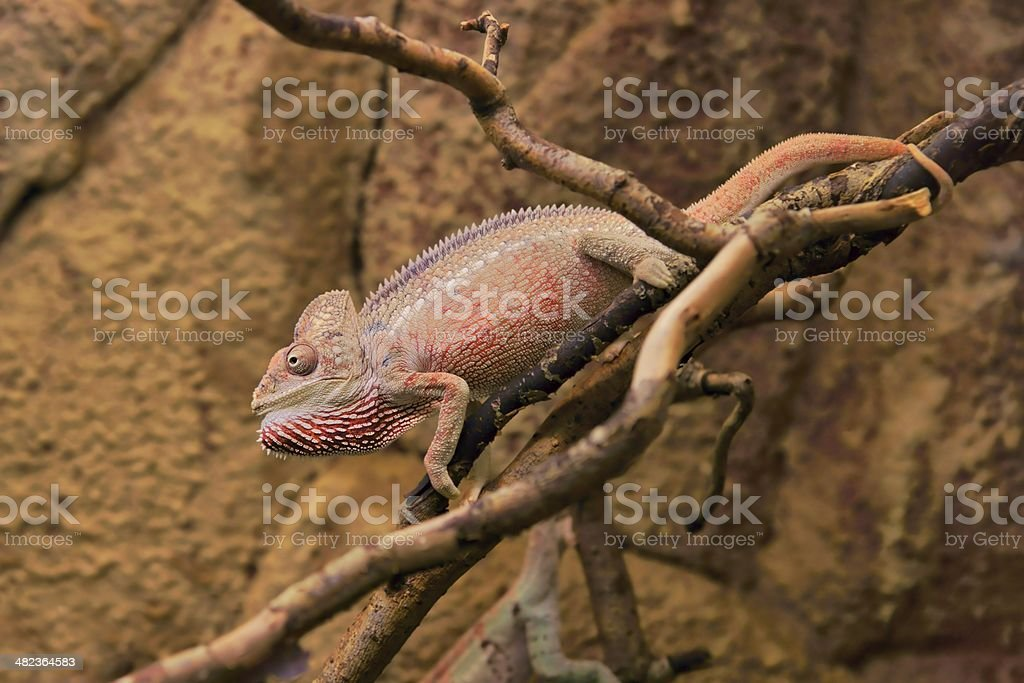 Malagasy giant chameleon or Oustalet's (Furcifer oustaleti), male stock photo