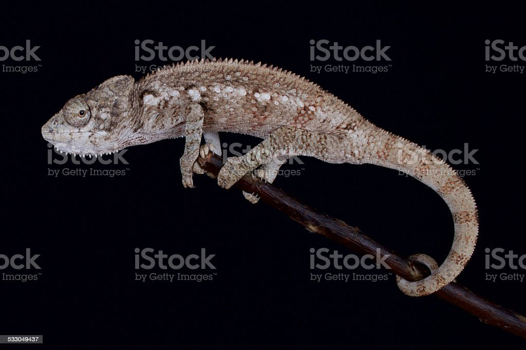 Malagasy giant chameleon (Furcifer oustaleti) stock photo