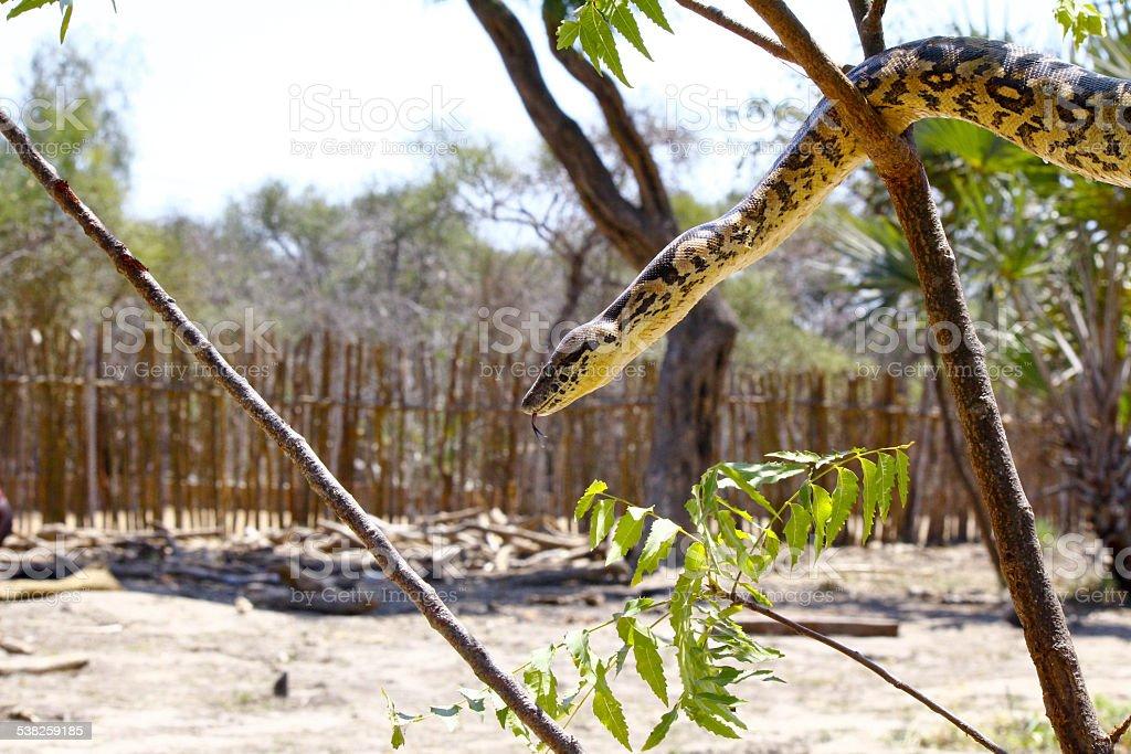 Malagasy or Madagascar Tree Boa stock photo