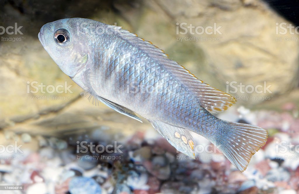 Malawi Cichlid royalty-free stock photo