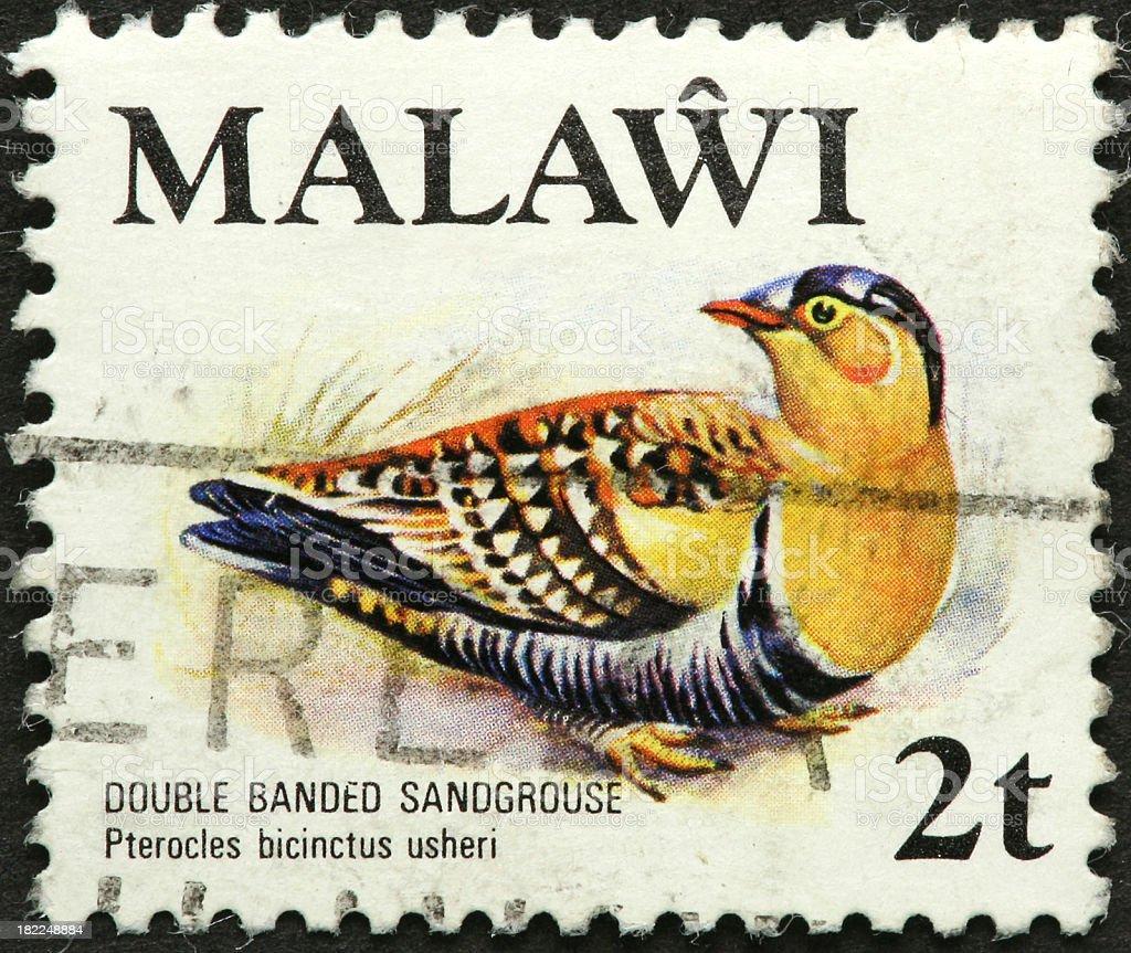 Malawi sandgrouse stock photo
