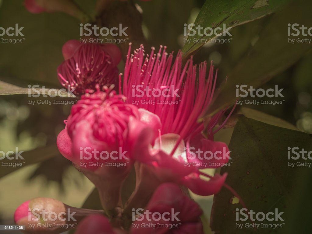 Malay Apple Flower stock photo