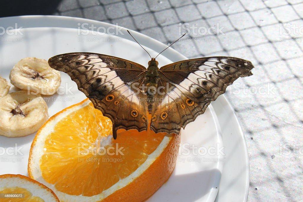 'Malay Cruiser' butterfly - Vindula Dejone stock photo