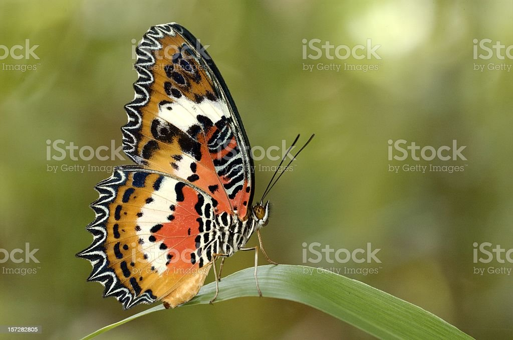 Malay Lacewing (Cethosia hypsea) in Singapore royalty-free stock photo