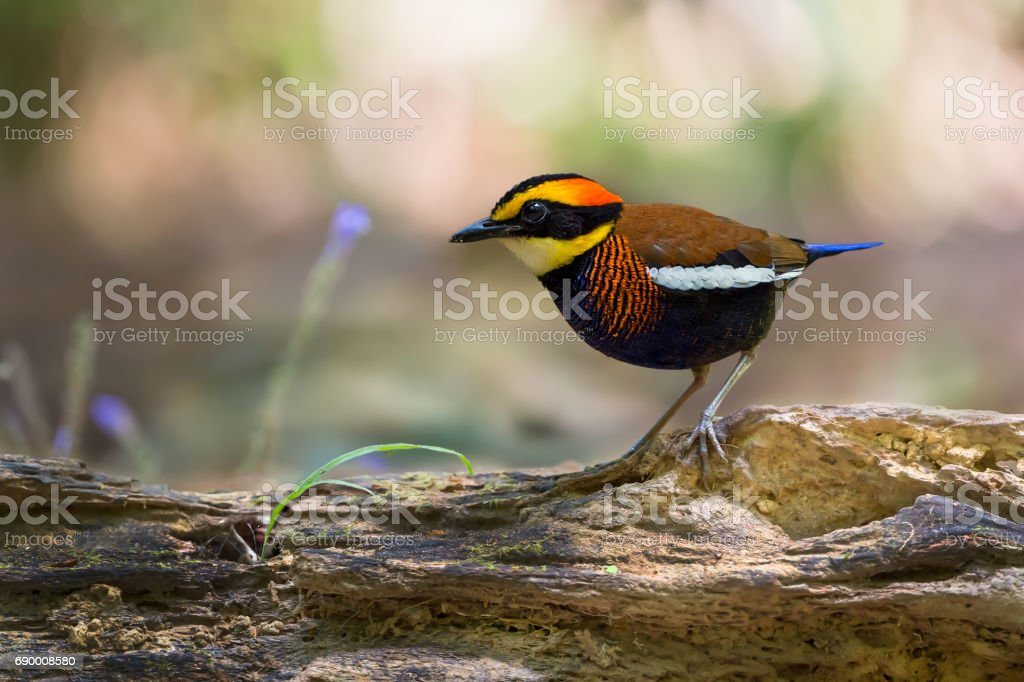 Malayan Banded Pitta (Pitta guajana) male standing on the log forest. Beauty in nature from southern thailand. stock photo