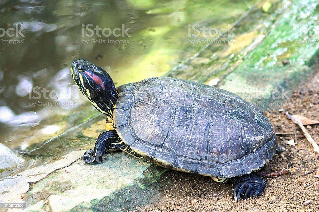 Malayan Box Turtle or Cuora amboinensis stock photo