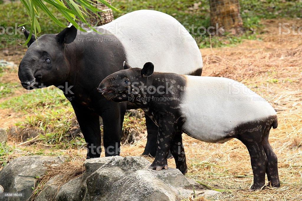 Schabrackentapir (Tapirus indicus) Lizenzfreies stock-foto