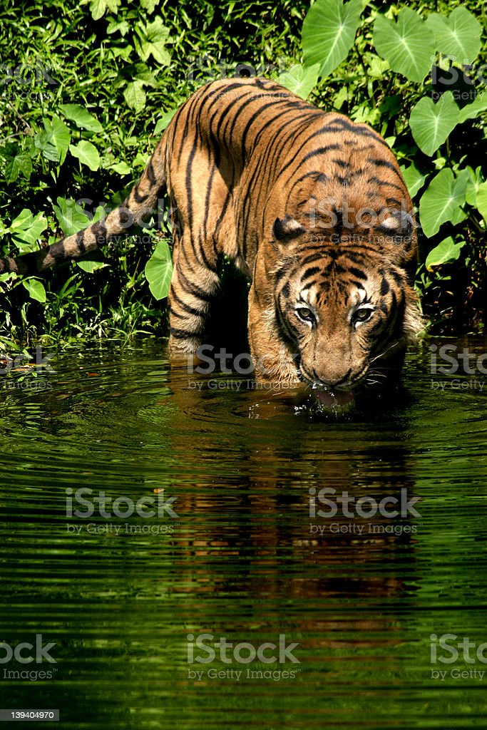 Malayan Tiger royalty-free stock photo
