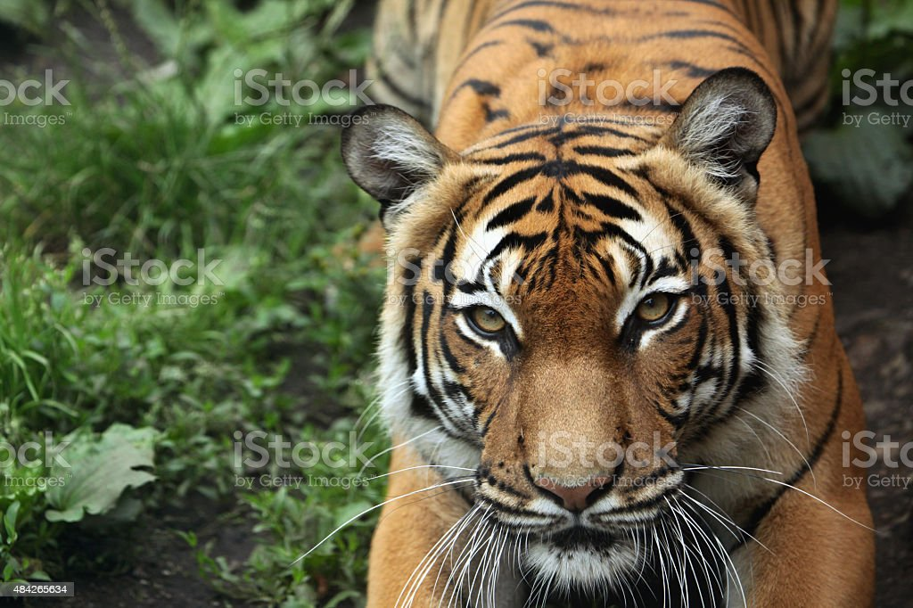 Malayan tiger (Panthera tigris jacksoni). stock photo