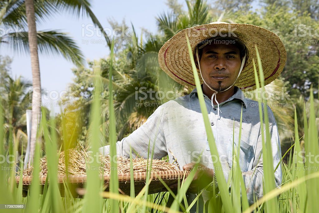 Malaysia, working at a rice paddy. stock photo