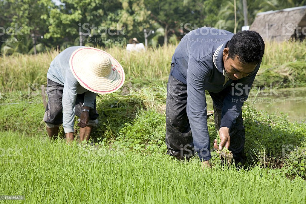 Malaysia, working at a rice paddy. royalty-free stock photo