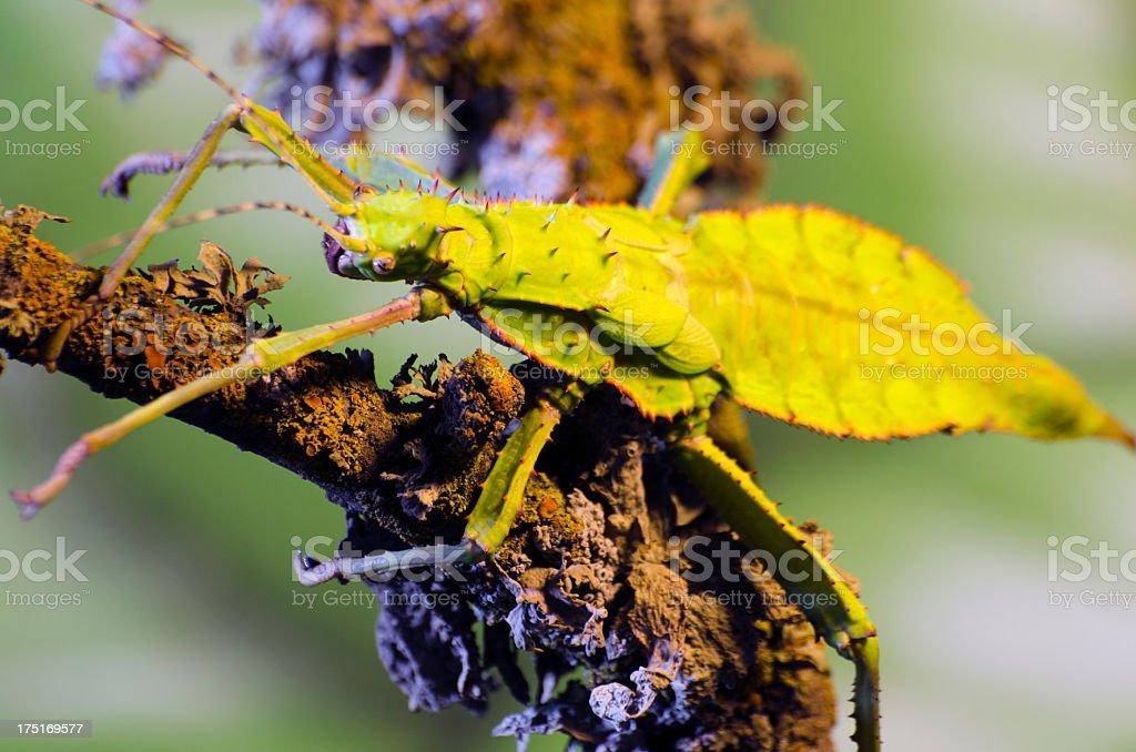 Malaysian jungle nymph  Heteropteryx dilatata stock photo