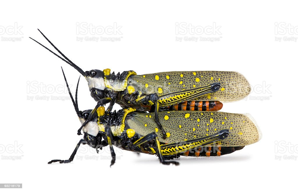 Malaysian locust having sex in front of white background royalty-free stock photo