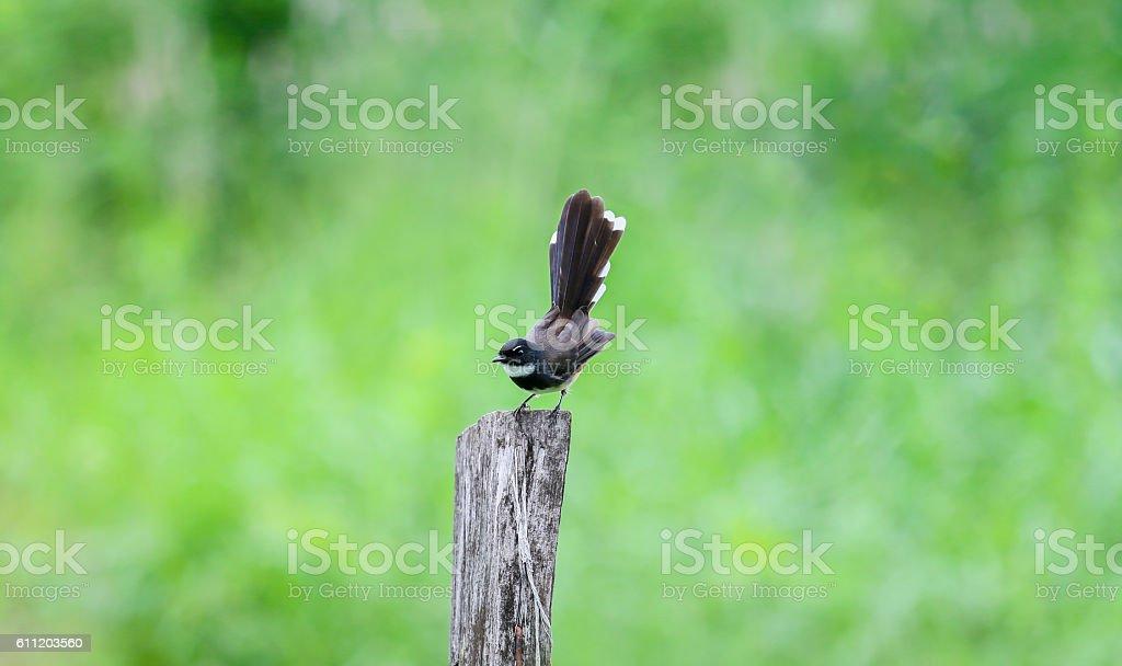 Malaysian Pied Fantail (Rhipidura javanica). Birds commonly foun stock photo