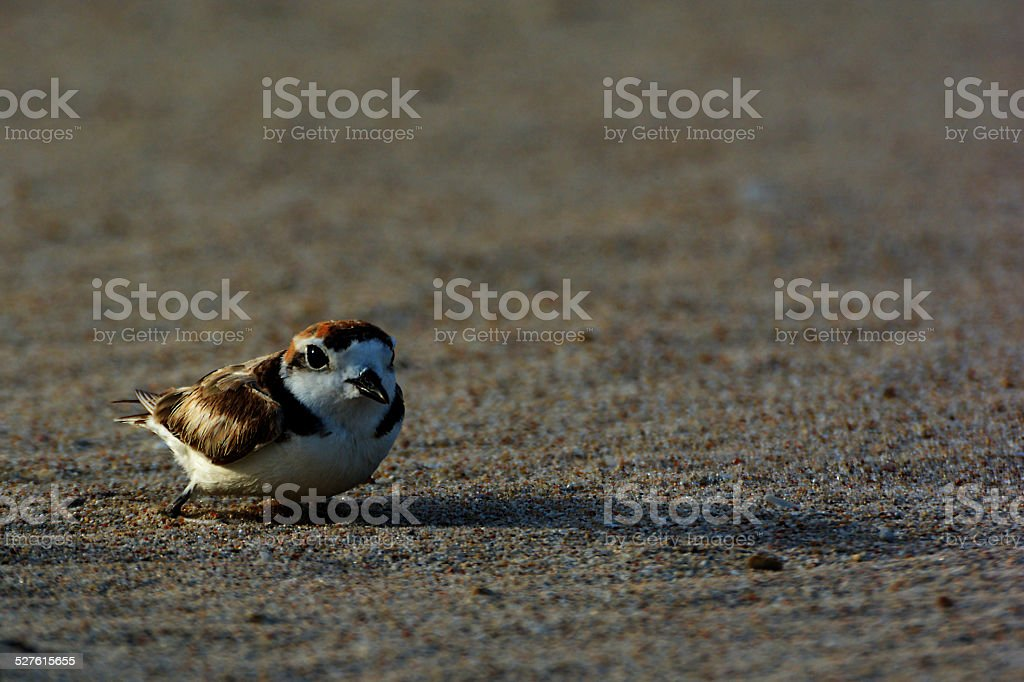 Malaysian Plover royalty-free stock photo