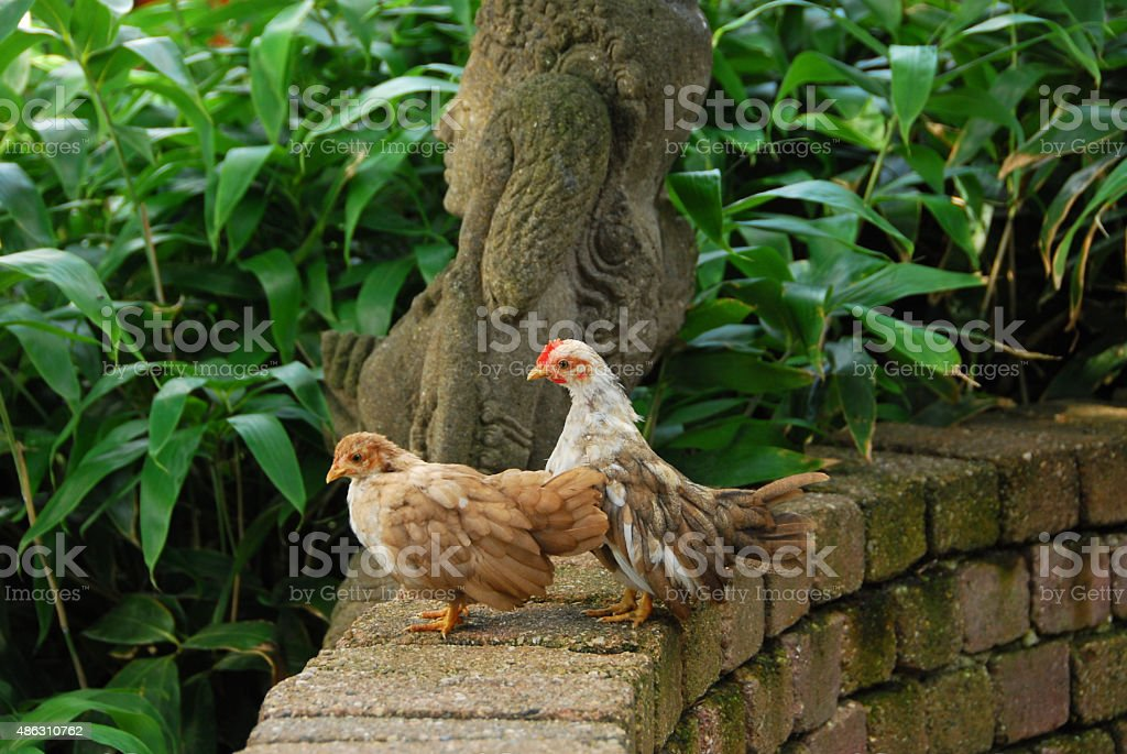 Malaysian Serma chickens walking on the edge of a well. stock photo
