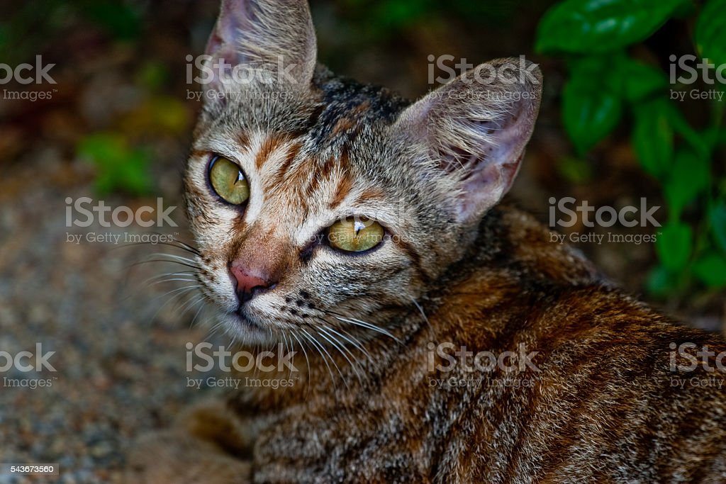 Malaysian stray cat stock photo