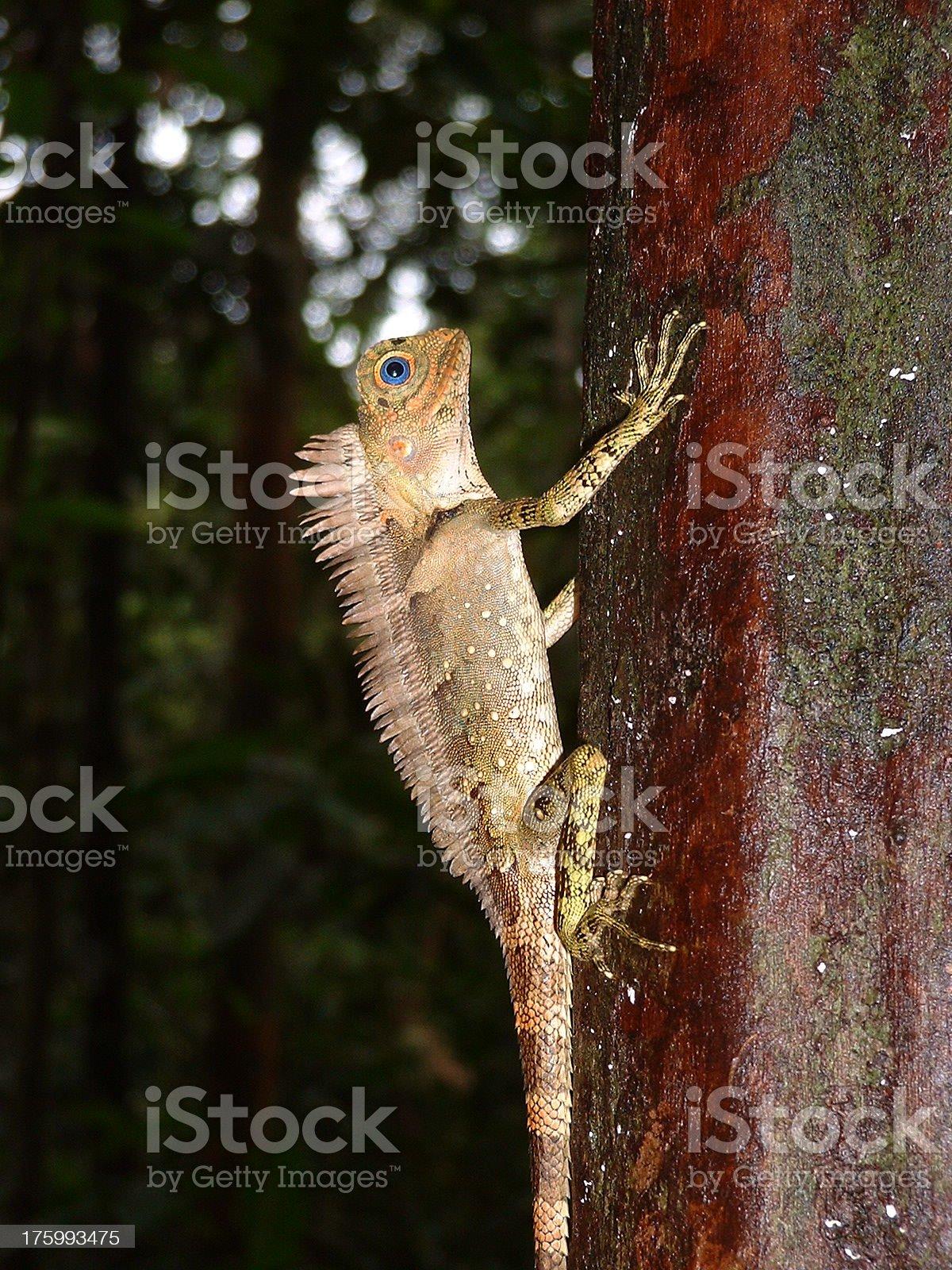 Malaysian tree lizard royalty-free stock photo