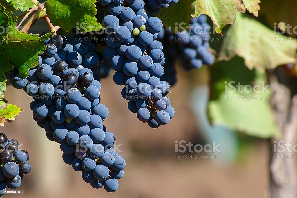 Malbec Grapes stock photo