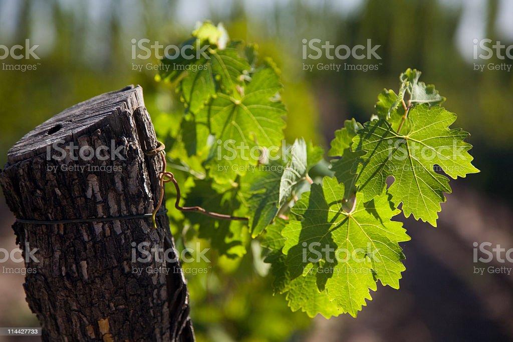 Malbec leaf royalty-free stock photo