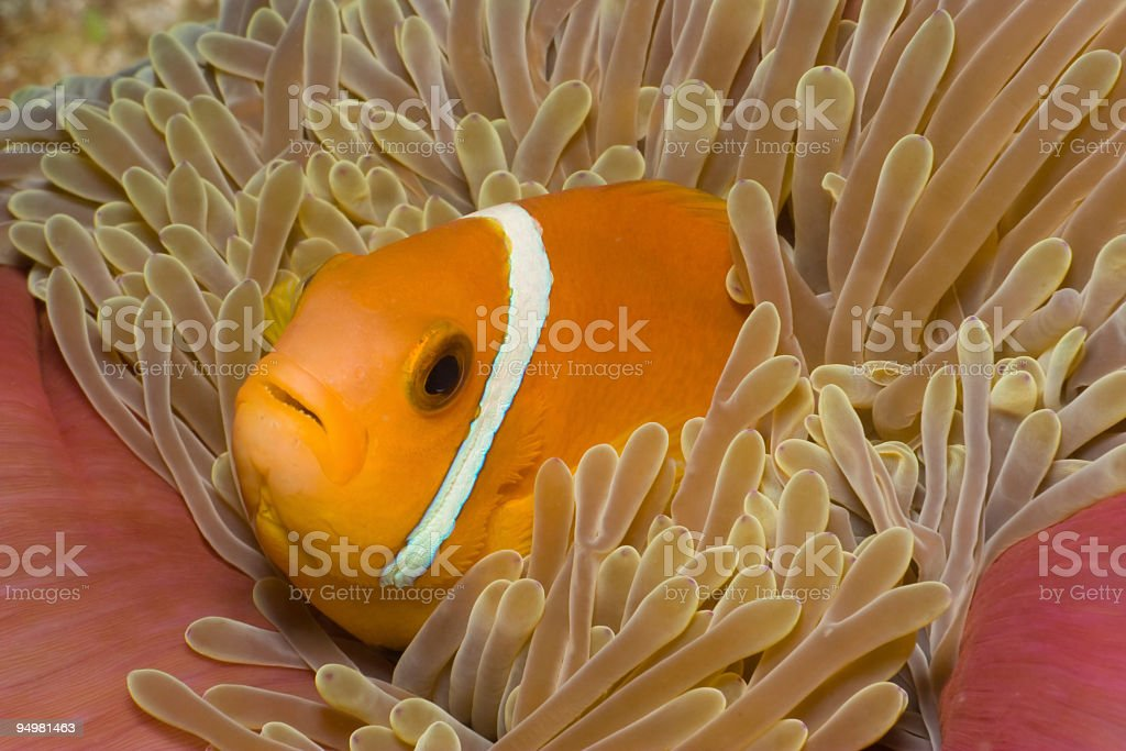 Maldive Anemonefish, Magnificent Sea Anemone, Bananareef, North Male Atoll, Maldives royalty-free stock photo