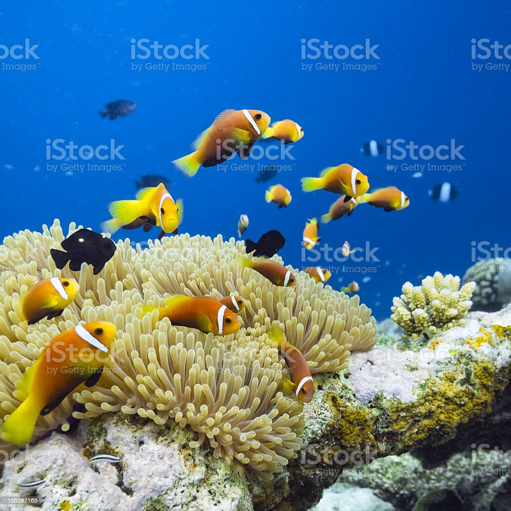 Maldives Anemonefish - Amphiprion nigripes stock photo