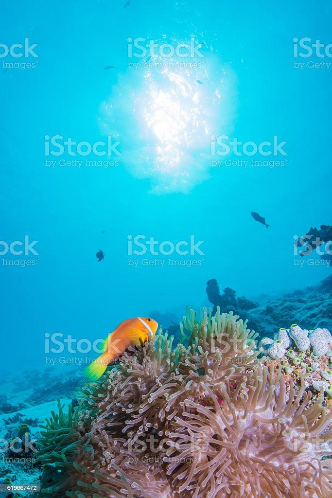 Maldivas Peixe palhaço foto de stock royalty-free