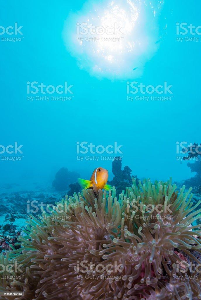 Maldives Anemonefish stock photo