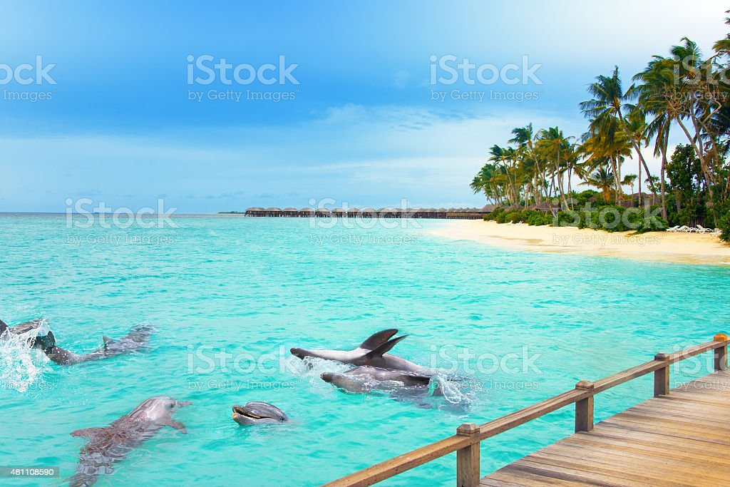 Maldives. Dolphins at ocean and tropical island. stock photo