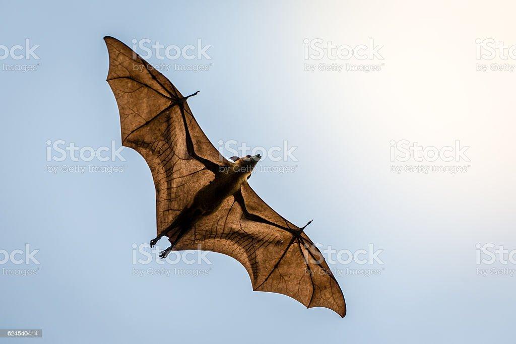 Maldives Fruit Bat stock photo