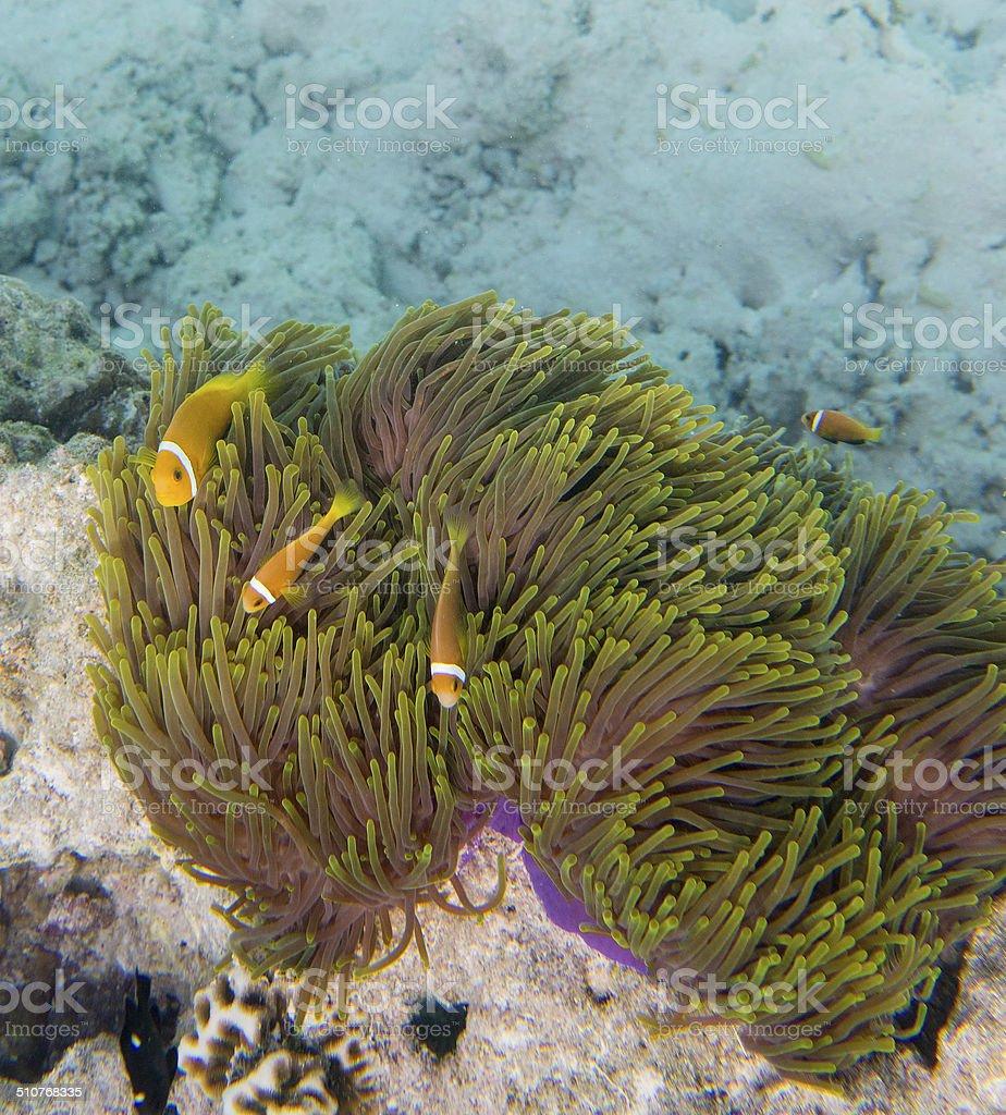 Maldivian Anemone and Maldivian Anemonefish clownfish Indian Ocean stock photo