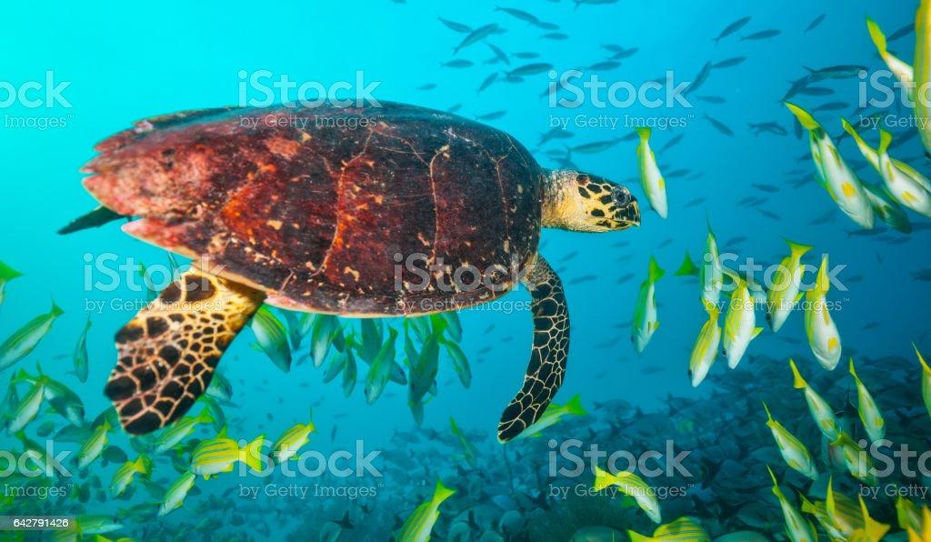 Maldivian hawkbill turtle floating in flock of fish stock photo