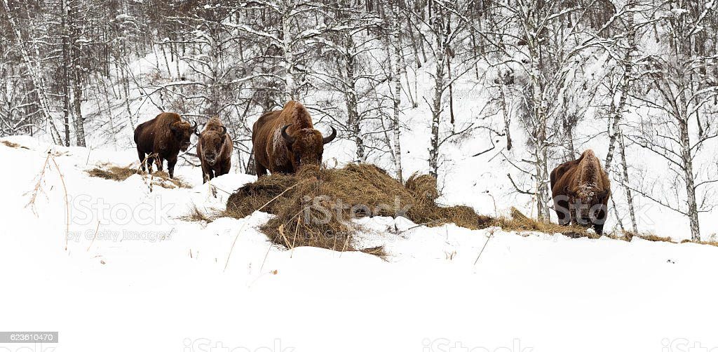 Male adult bison, four individuals. Altai Breeding bison place. stock photo