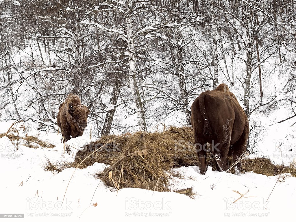 Male adult bison, two individuals. Altai Breeding bison place. stock photo