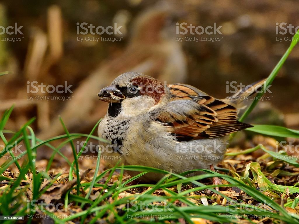 Male adult house sparrow in a garden (common bird) stock photo