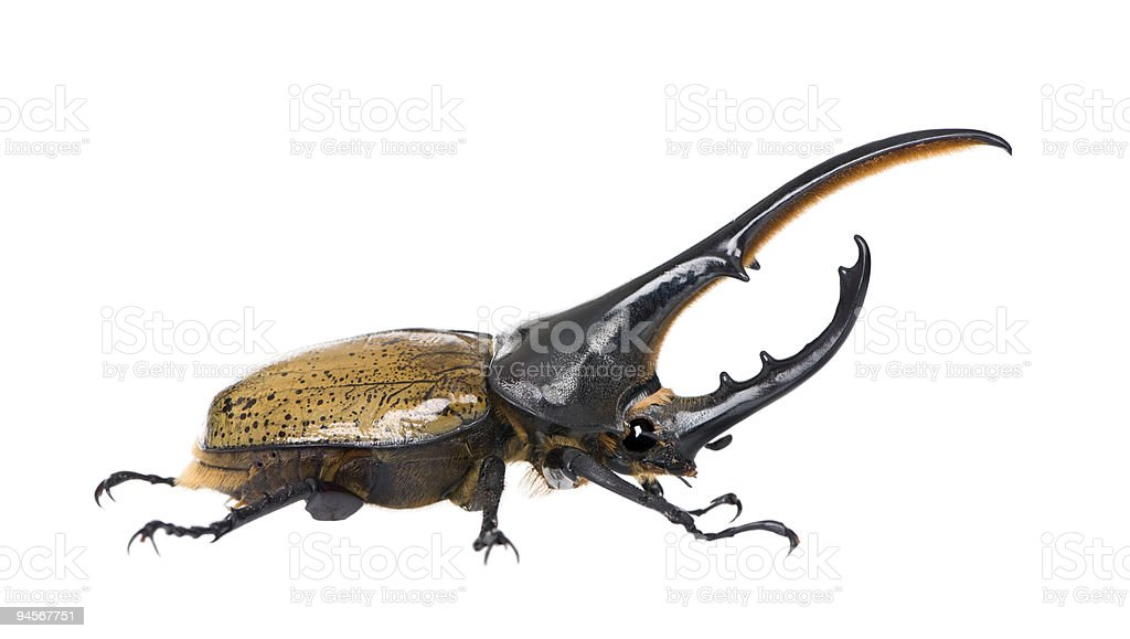 Male adulte Hercules beetle against white background stock photo