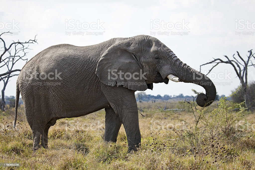 Male African Elephant reaching out to pluck acacia twig stock photo