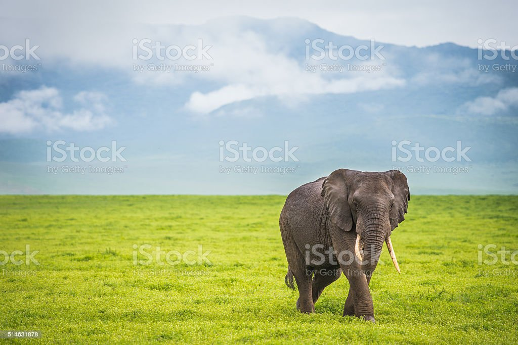 Male African Elephant Walking Alone in African Plain stock photo