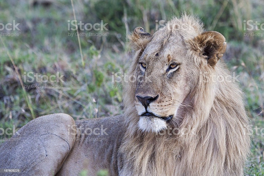 Male African Lion in the Maasai Mara royalty-free stock photo