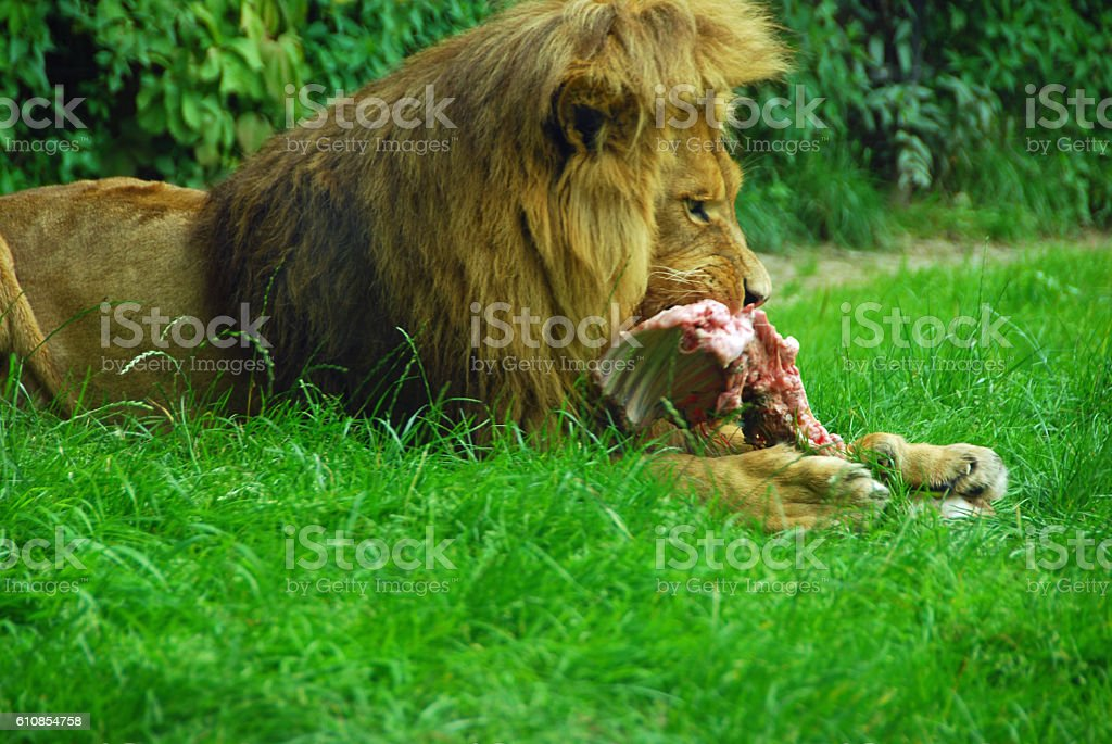 Male African lion Scavenging its prey . stock photo