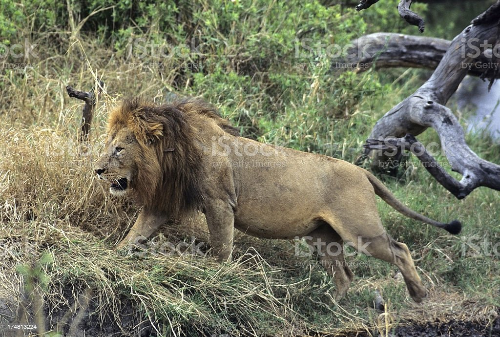 Male African lion Tanzania royalty-free stock photo